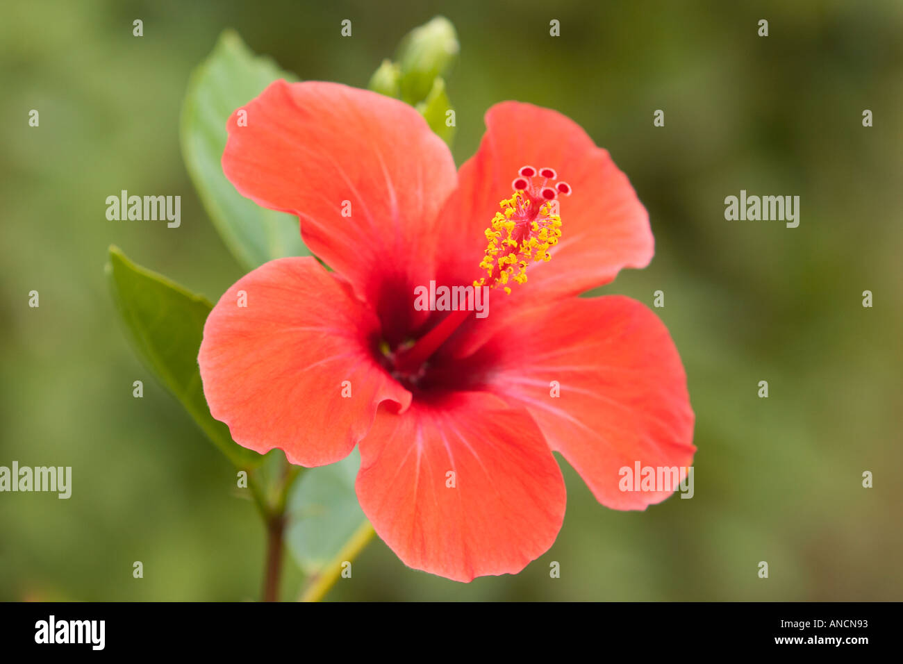 Red Hibiscus Flower Scientific Name Hibiscus Rosa Sinensis Corfu