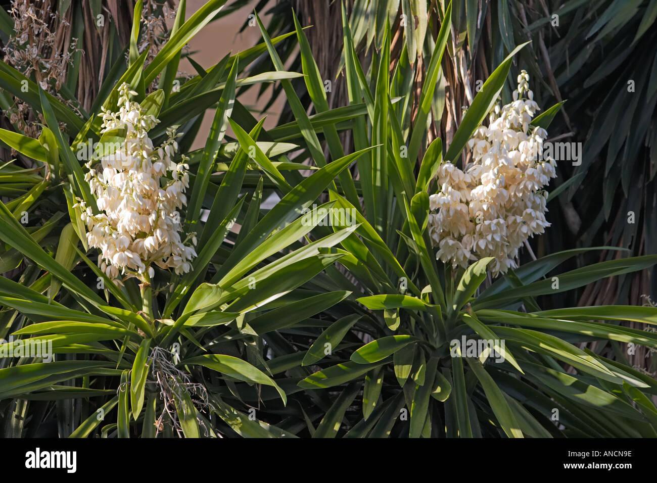 White Yucca Blossom Close Up Stock Photos White Yucca Blossom