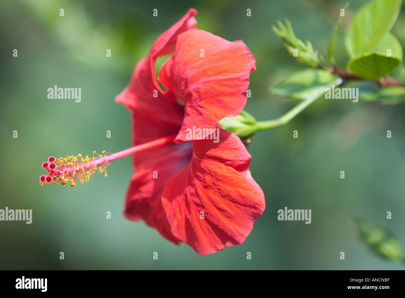 Red hibiscus flower scientific name hibiscus rosa sinensis corfu red hibiscus flower scientific name hibiscus rosa sinensis corfu island greece izmirmasajfo