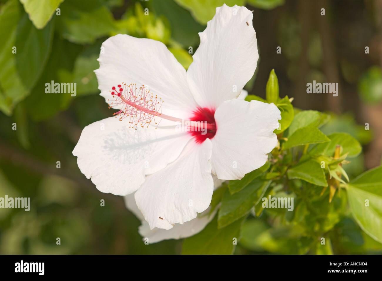 White Hibiscus Flower Scientific Name Hibiscus Rosa Sinensis