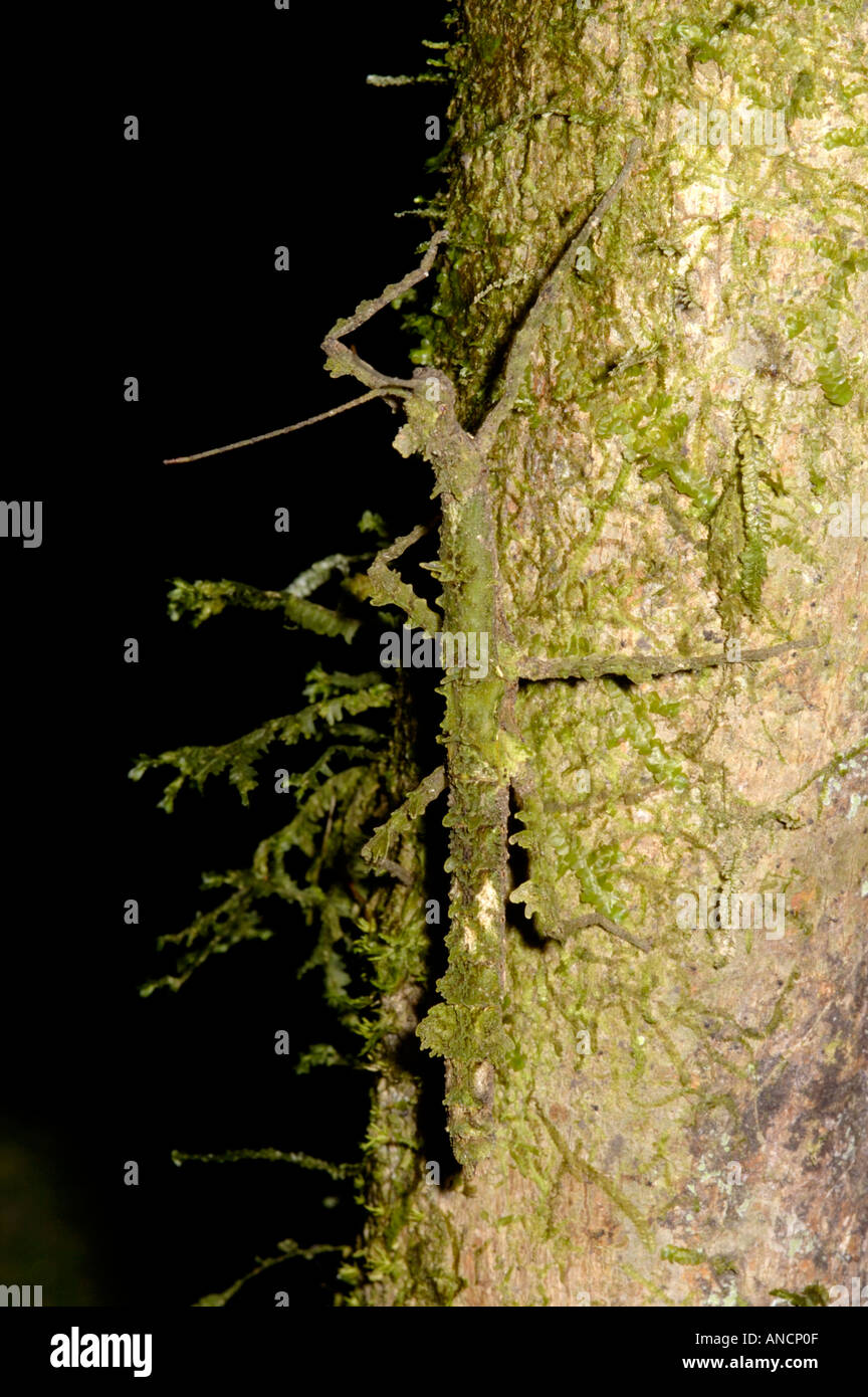 Moss mimic walking stick, Phasmidae, on a moss covered tree. The insect is well adapted to its niche - Stock Image