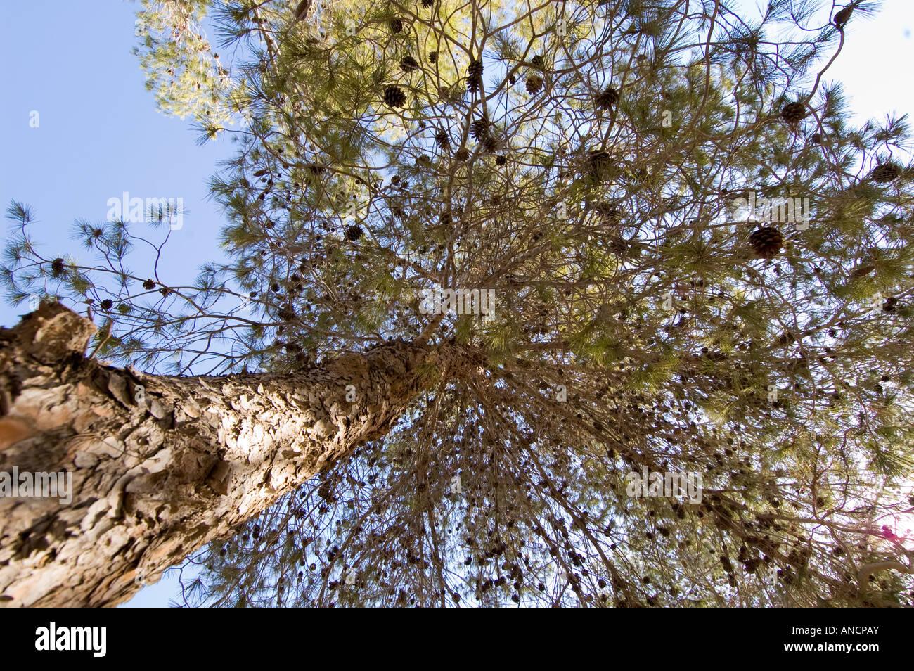 Pine tree, pinus halepensis - Stock Image