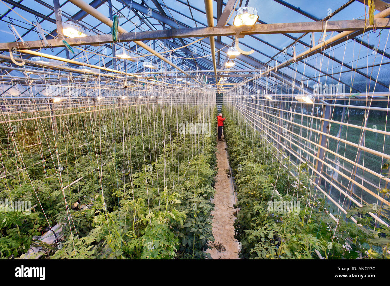 Greenhouse Tomato Growing with Supplementary High Pressure Sodium Vapor Lighting Iceland Stock Photo