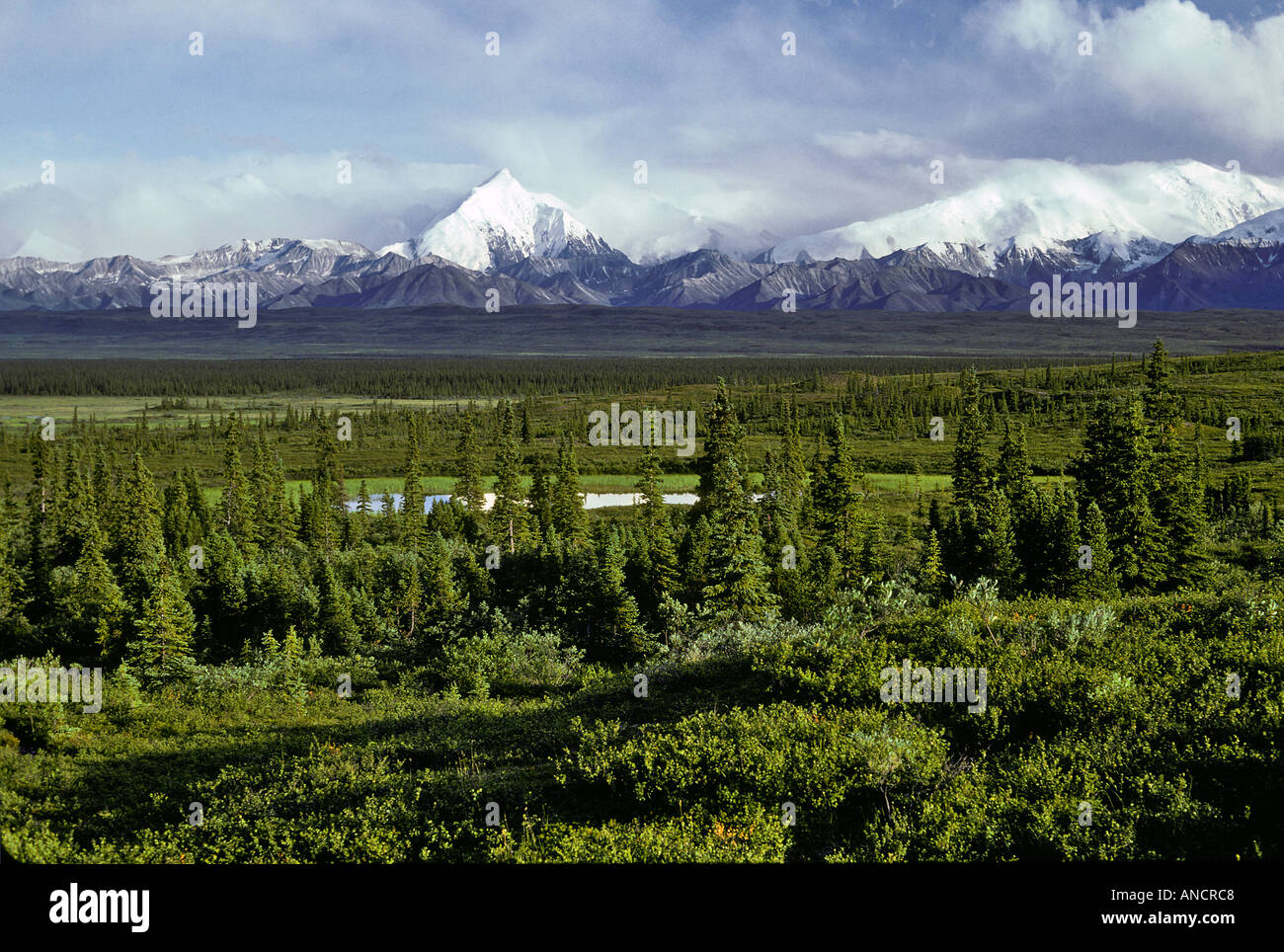 Taiga Forest Denali National Park Alaska - Stock Image