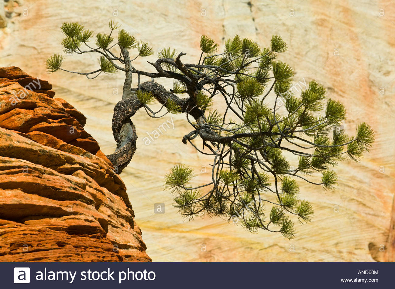 A bent pine tree grows near the top of a sandstone column in Zion National Park, Utah. - Stock Image