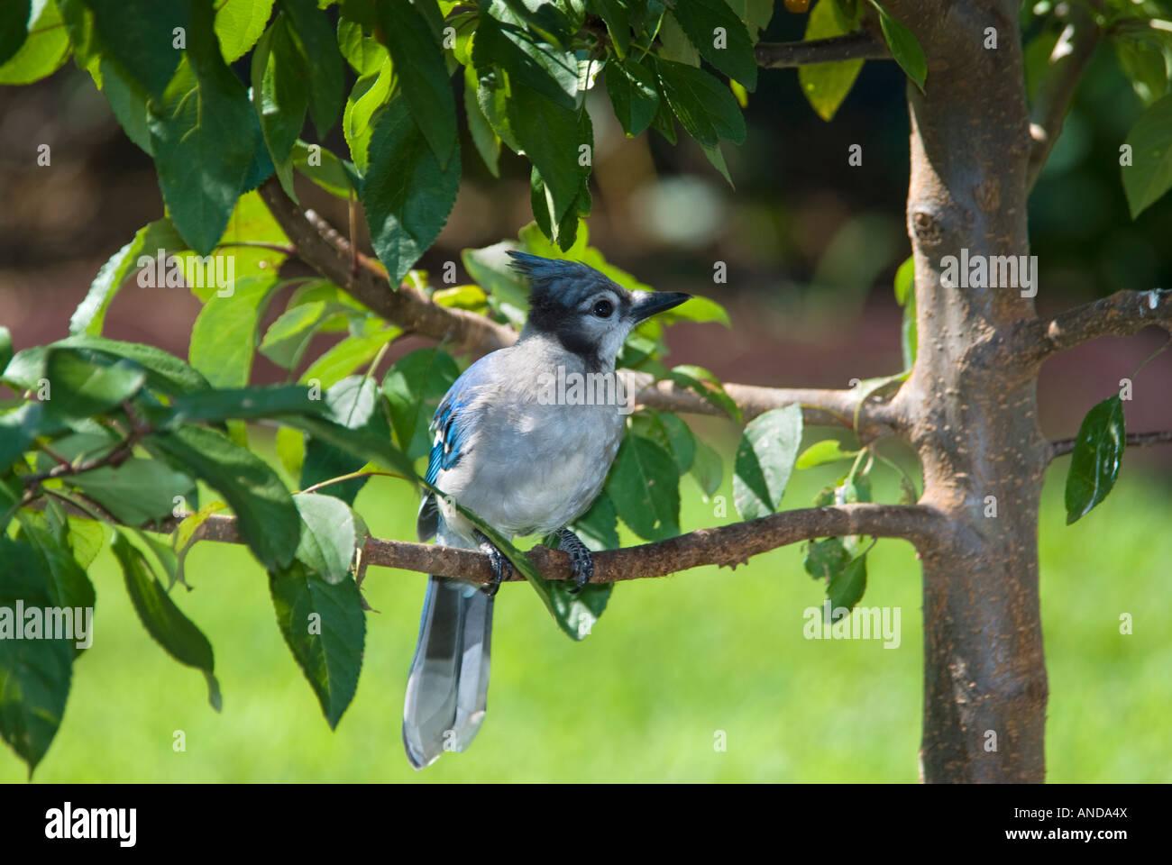 A juvenile Blue Jay (Cyanocitta cristata) perches on a branch. Oklahoma, USA. Stock Photo