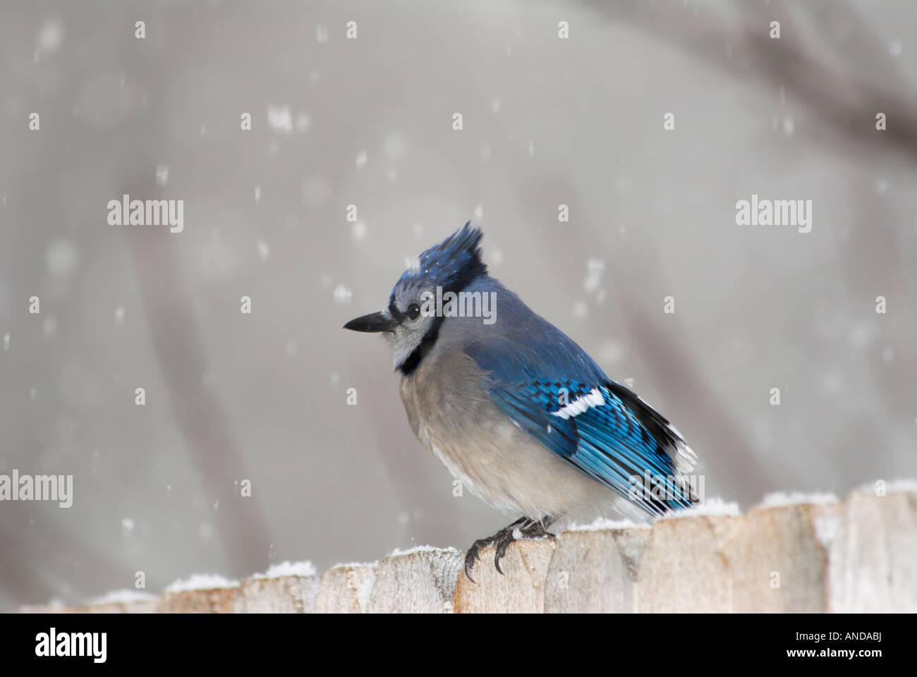 A Blue Jay (Cyanocitta cristata) sits on a fence during a light snowfall. Oklahoma,USA. Stock Photo