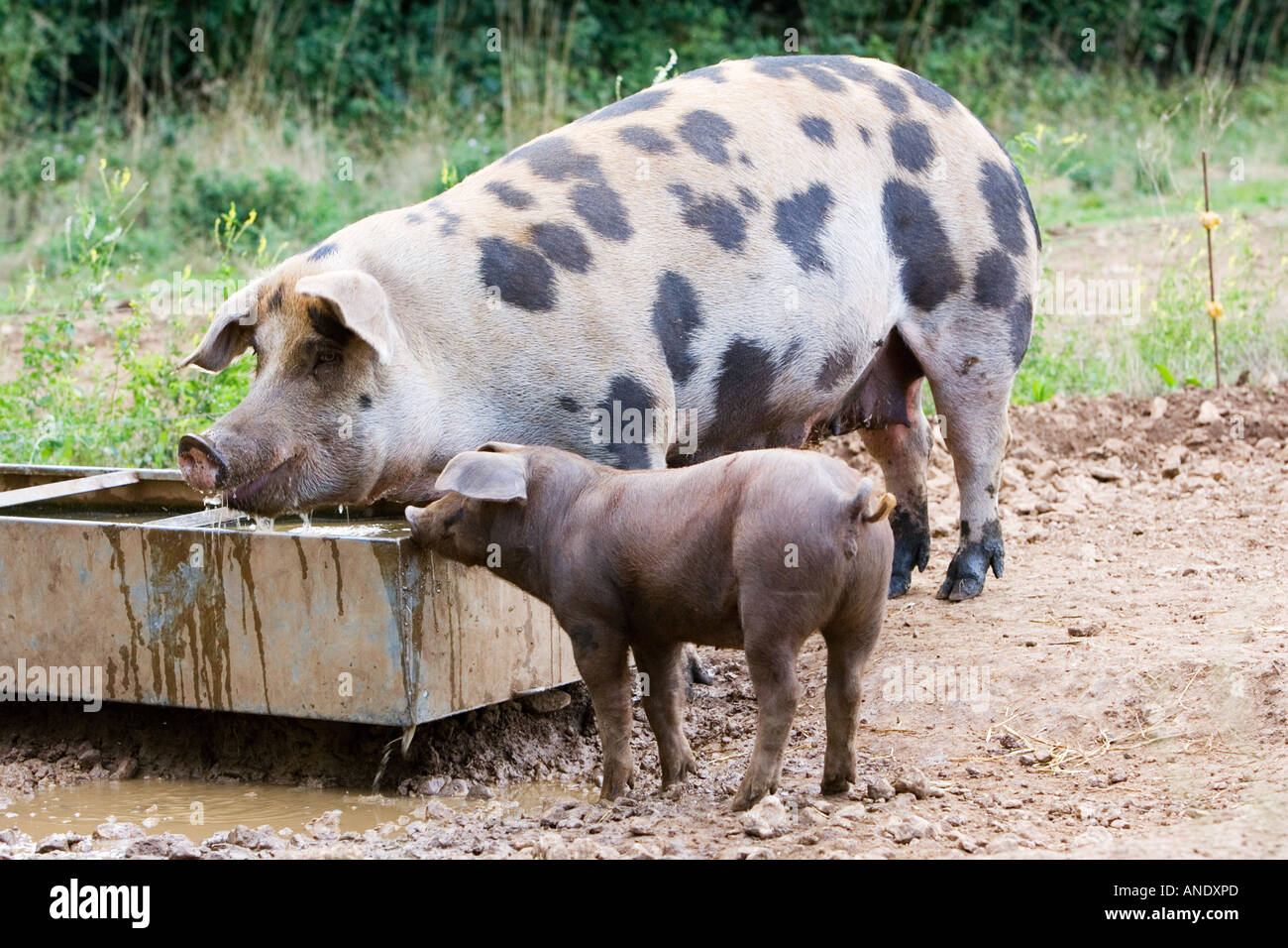 Gloucester Old Spot pig and her piglet feeding Gloucestershire United  Kingdom - Stock Image