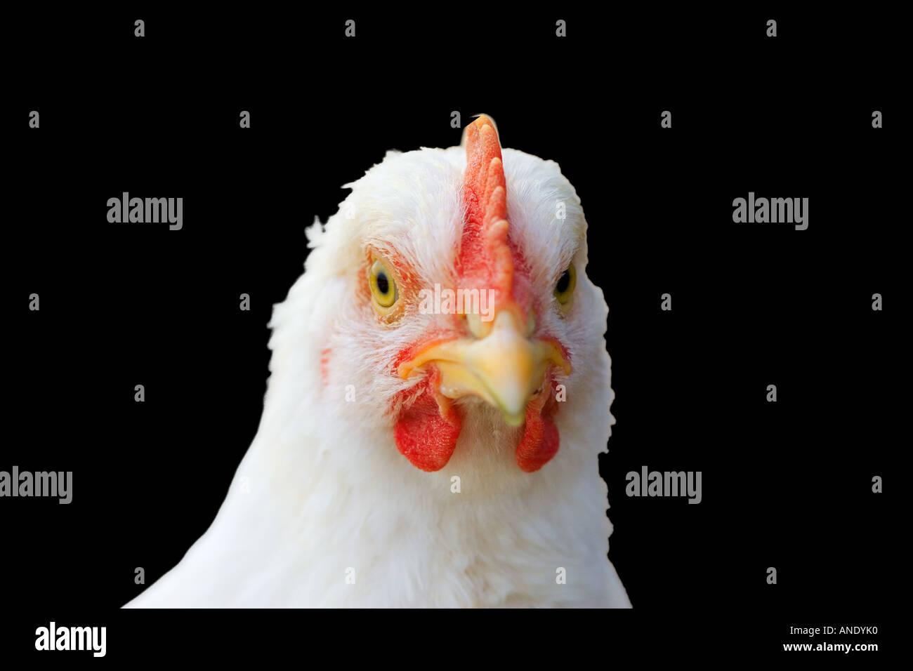 British Chicken UK Free range birds might be at risk if Avian flu bird flu virus spreads to Britain - Stock Image