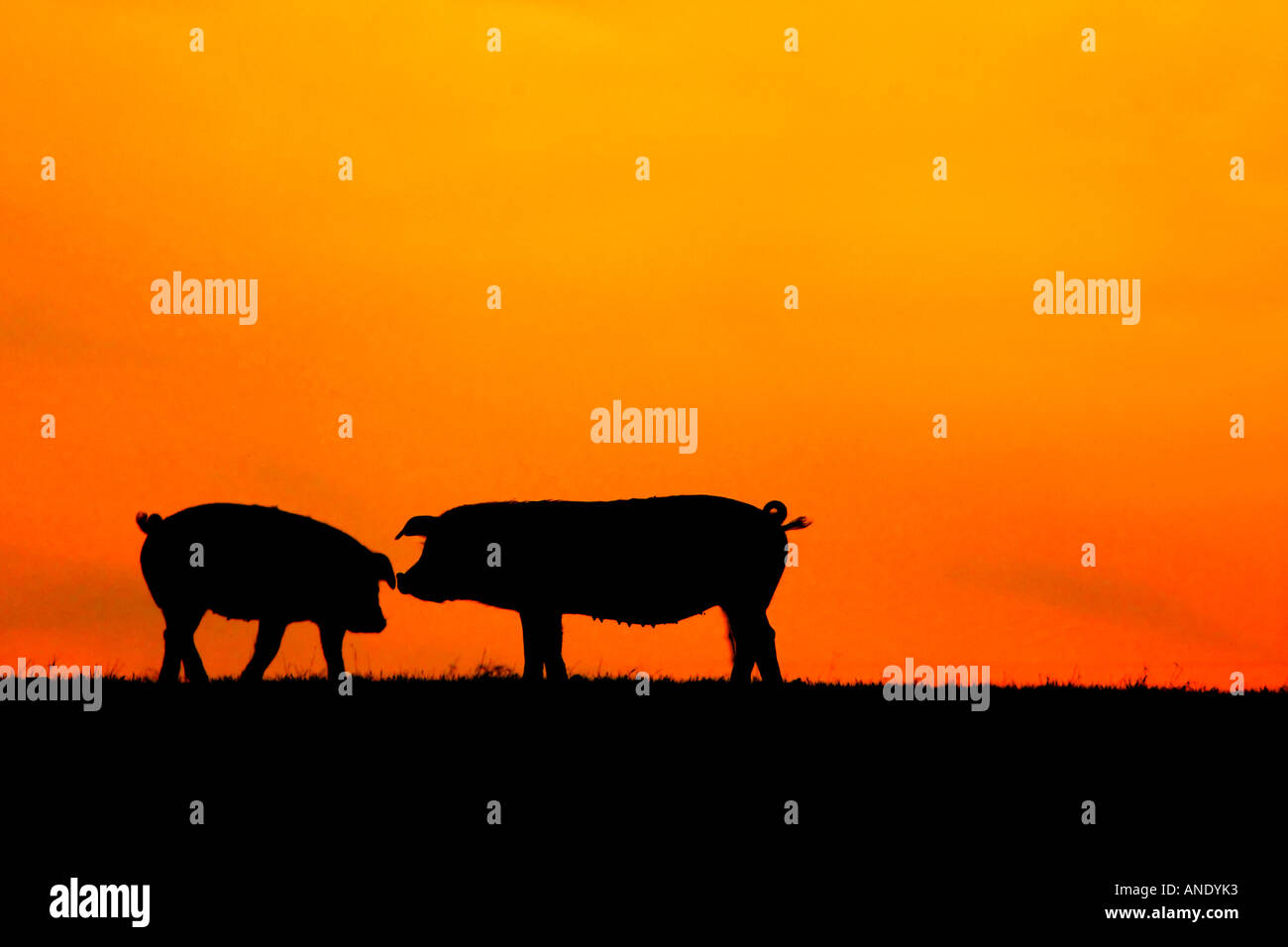 Pigs at sunset - Stock Image