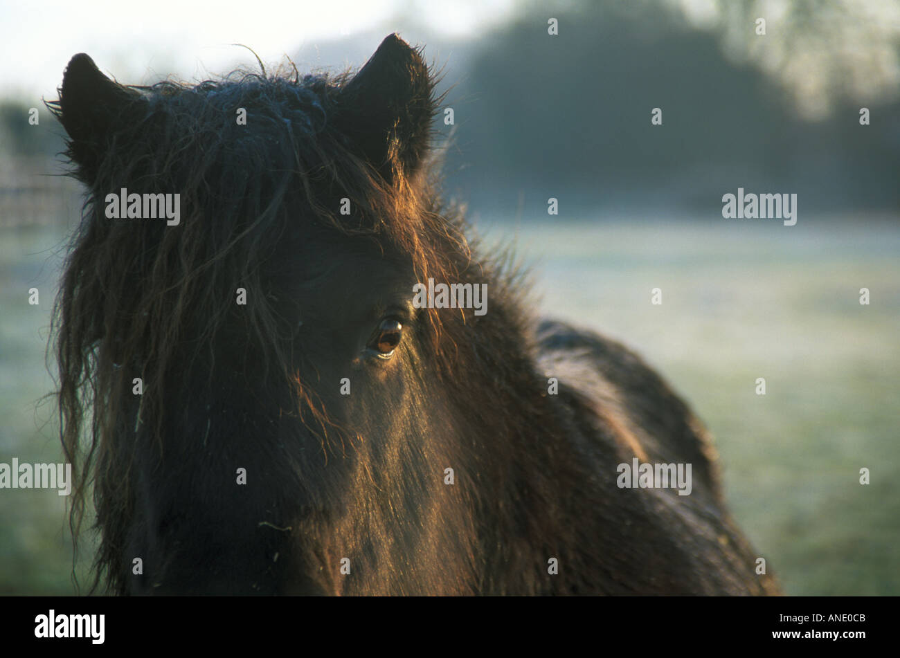 Shetland Pony in early morning frost - Stock Image