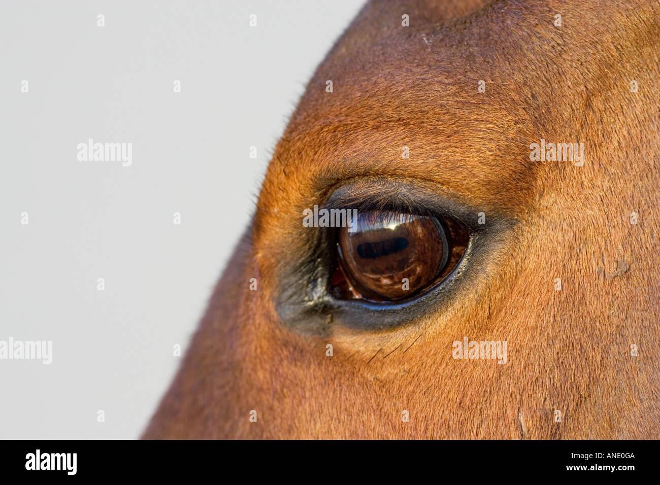 Cleveland Bay Cross Thoroughbred horse Oxfordshire United Kingdom - Stock Image