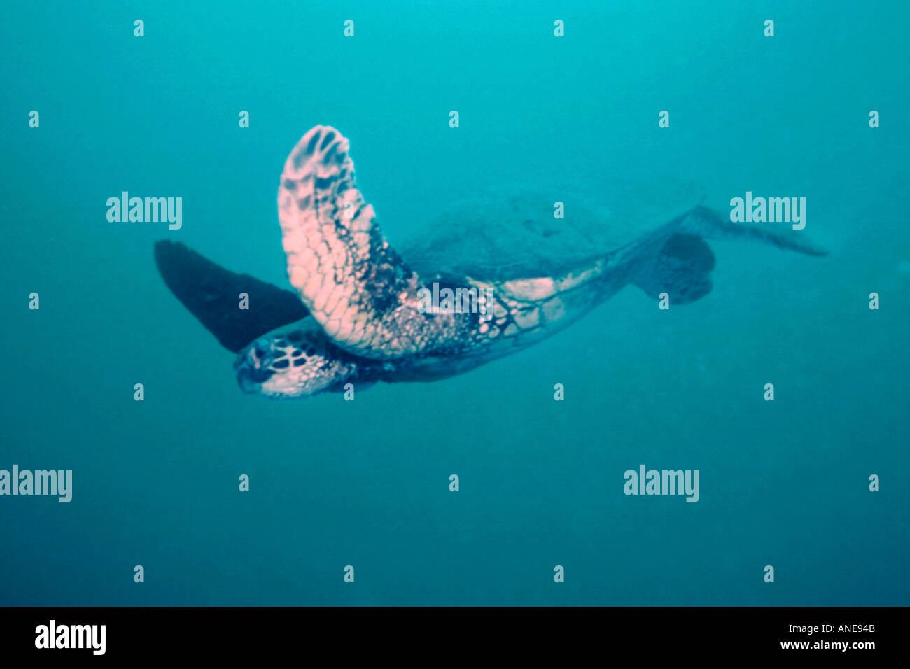Green sea turtle with fibropapilloma virus notice tumor growing over left eye Chelonia mydas YO 237 shipwreck Oahu Hawaii USA - Stock Image