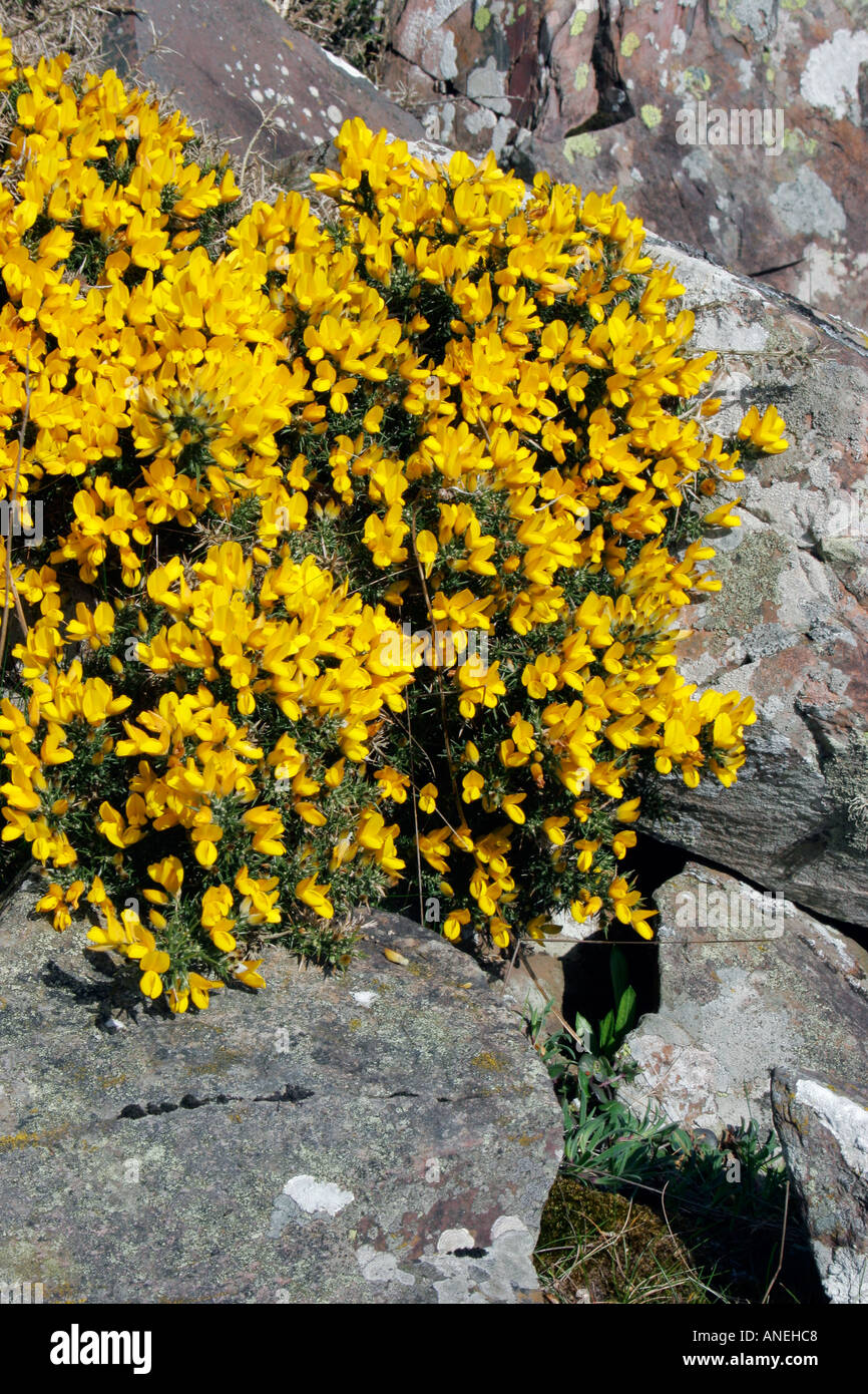 Yellow Flowers Of Wild Shrub Gorse Growing In Rocks In Scotland