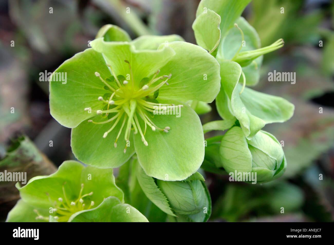 Green flowers of garden perennial plant Corsican Hellebore ...