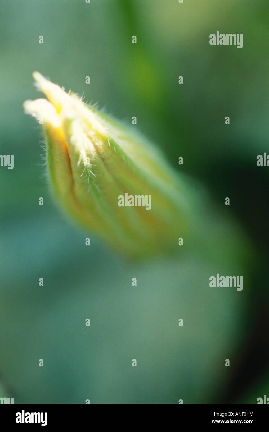 Zucchini flower bud, close-up - Stock Image