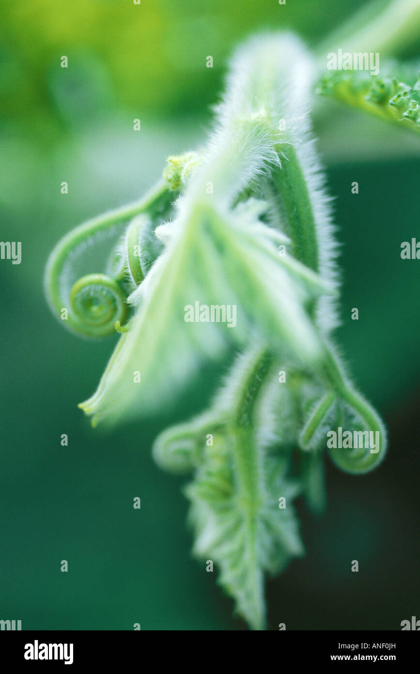Tendrils and leaves in vegetable garden, close-up - Stock Image