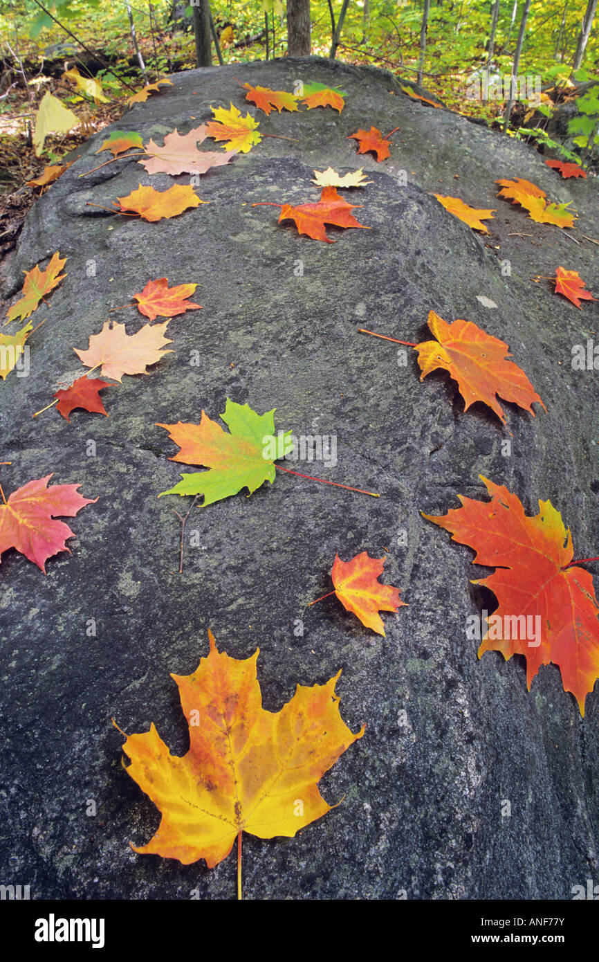 Sugar Maple leaves and rocks decorate the cottage country of the Muskokas, Ontario, Canada. - Stock Image