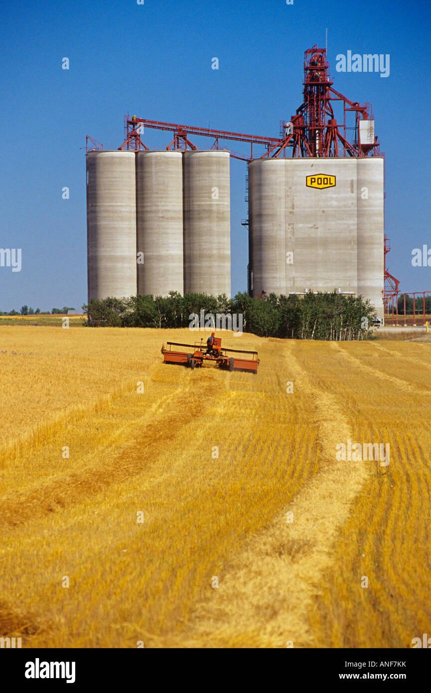 Swathing, Western Red Spring Wheat, Saskatchewan, Canada. - Stock Image