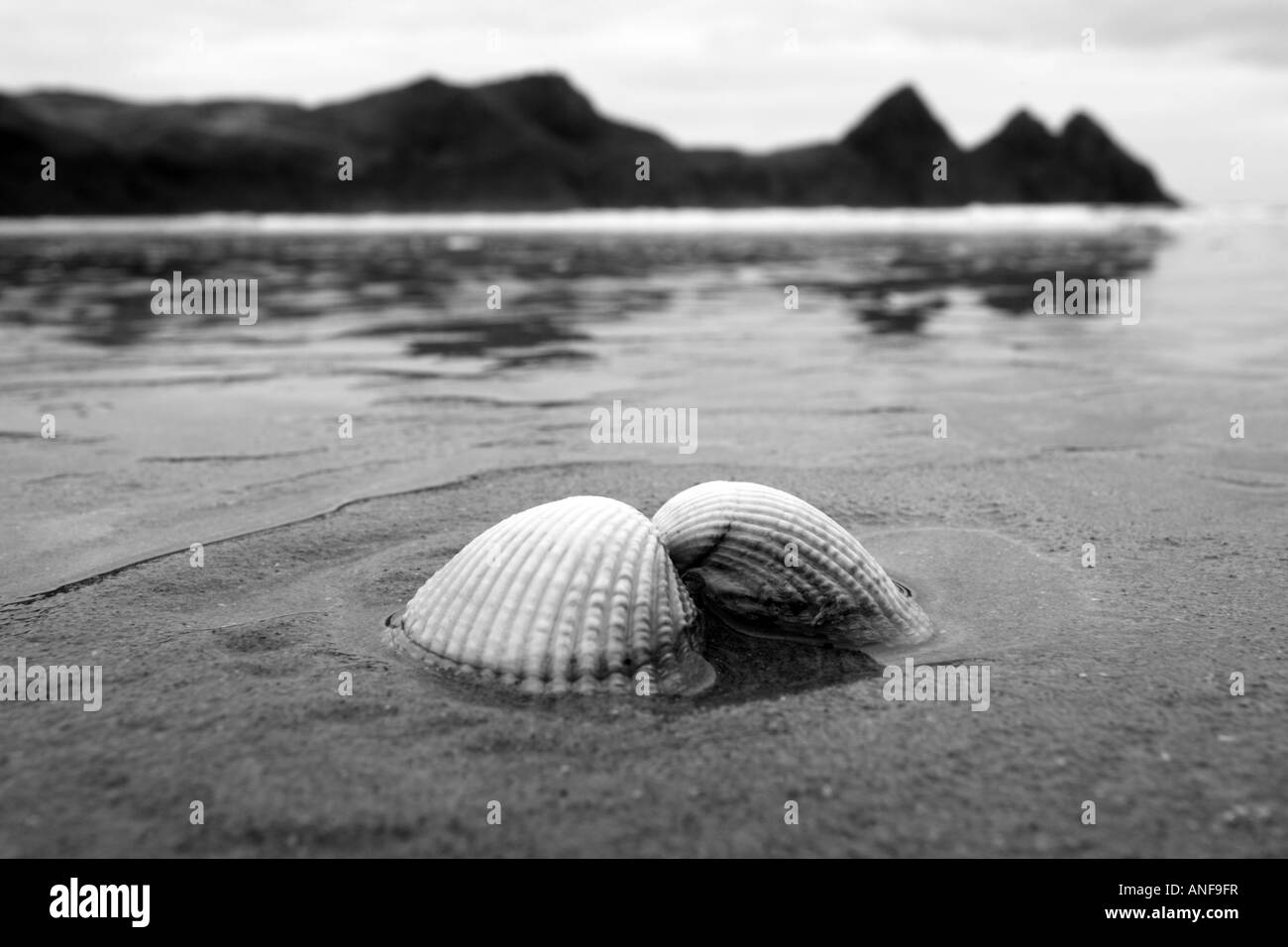 Cockle Shell on the sand 'Three Cliffs Bay' 'Gower peninsula', Wales - Stock Image