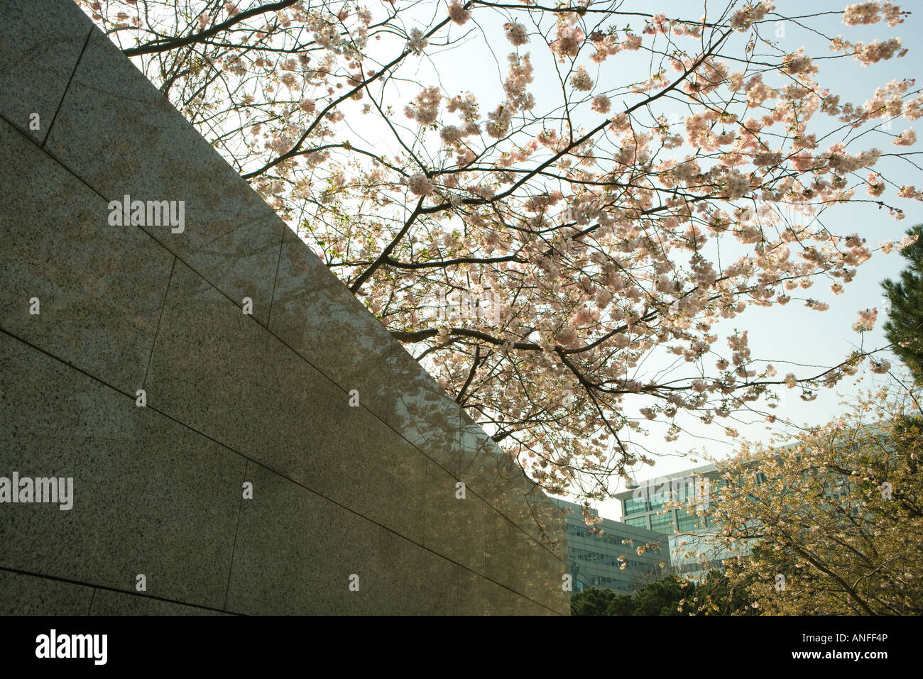 Tree in blossom and wall - Stock Image
