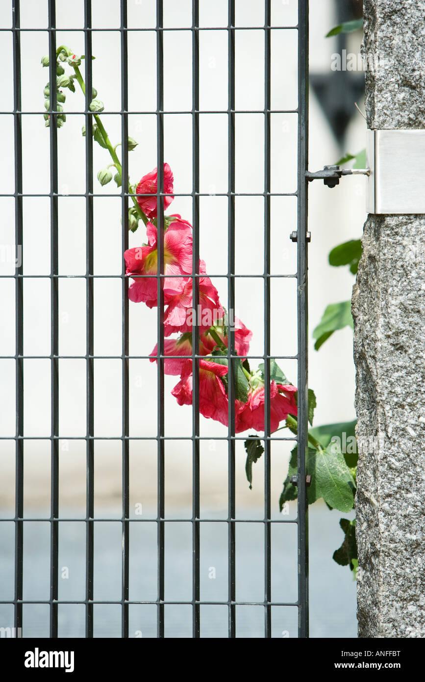 Hollyhocks growing behind gate - Stock Image