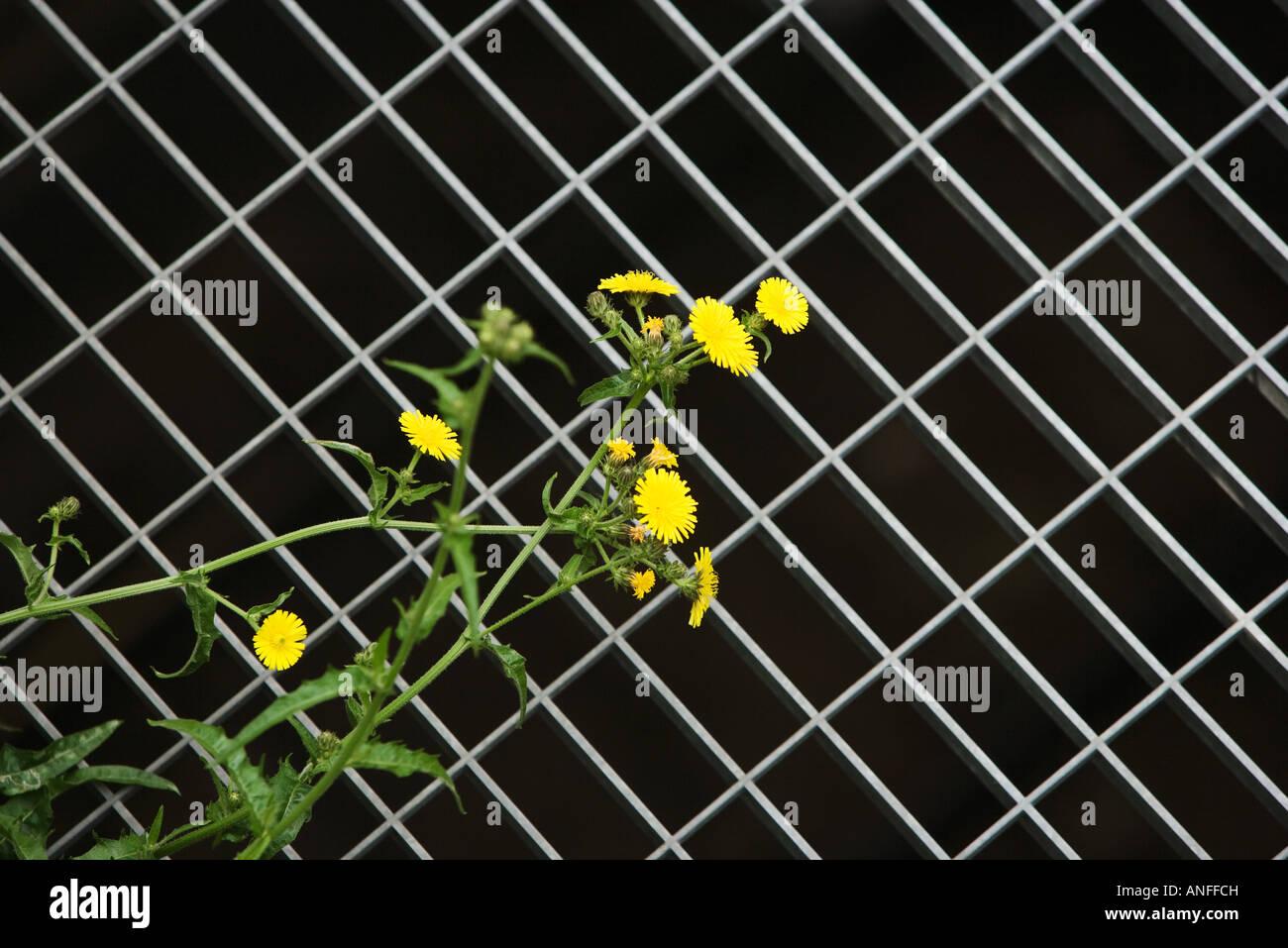 Dandelions and metal grate - Stock Image