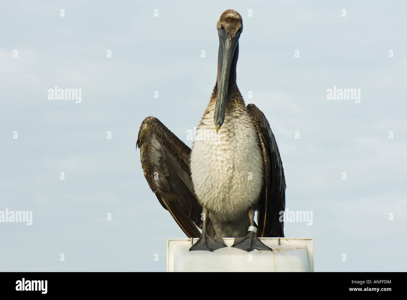 Juvenile Brown Pelican (Pelecanus occidentalis) - Stock Image