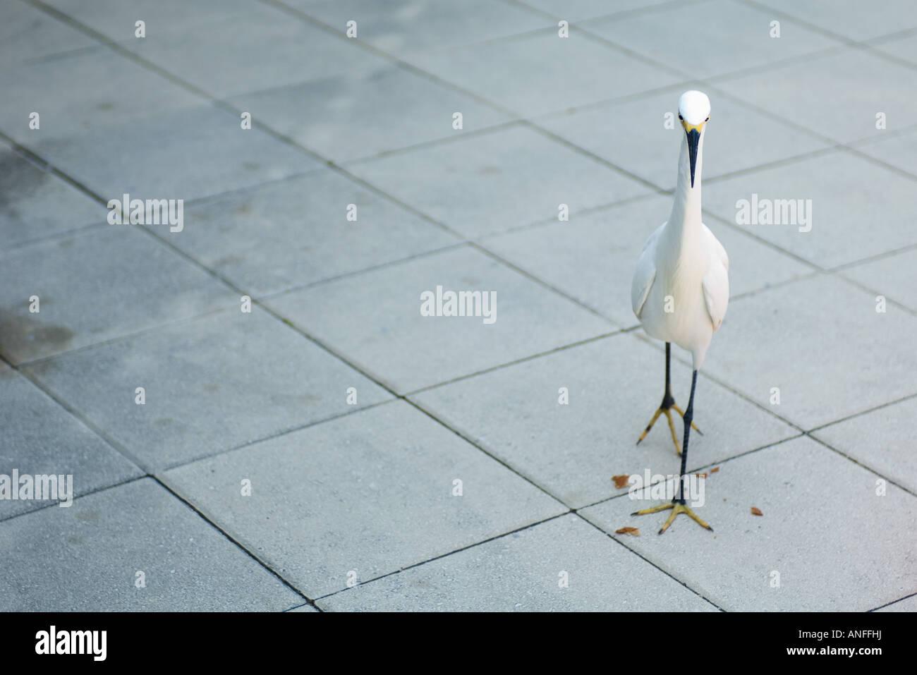 Snowy egret (Egretta thula) walking on tiled floor - Stock Image