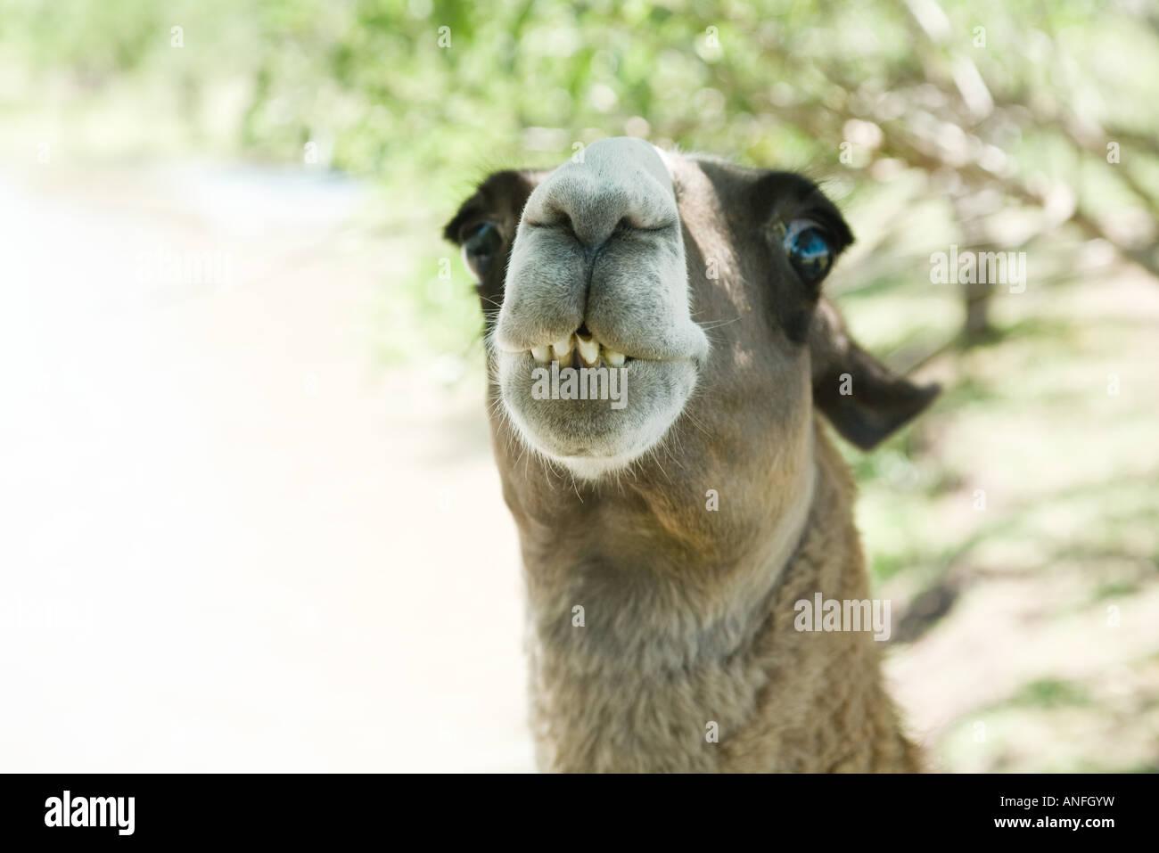 Llama, looking at camera, cropped view - Stock Image