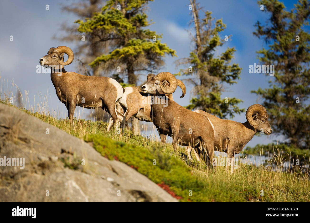 Male Bighorn Sheep (Ovis canadensis) at Disaster Point along the Yellowhead Highway, Jasper National Park, Alberta, - Stock Image