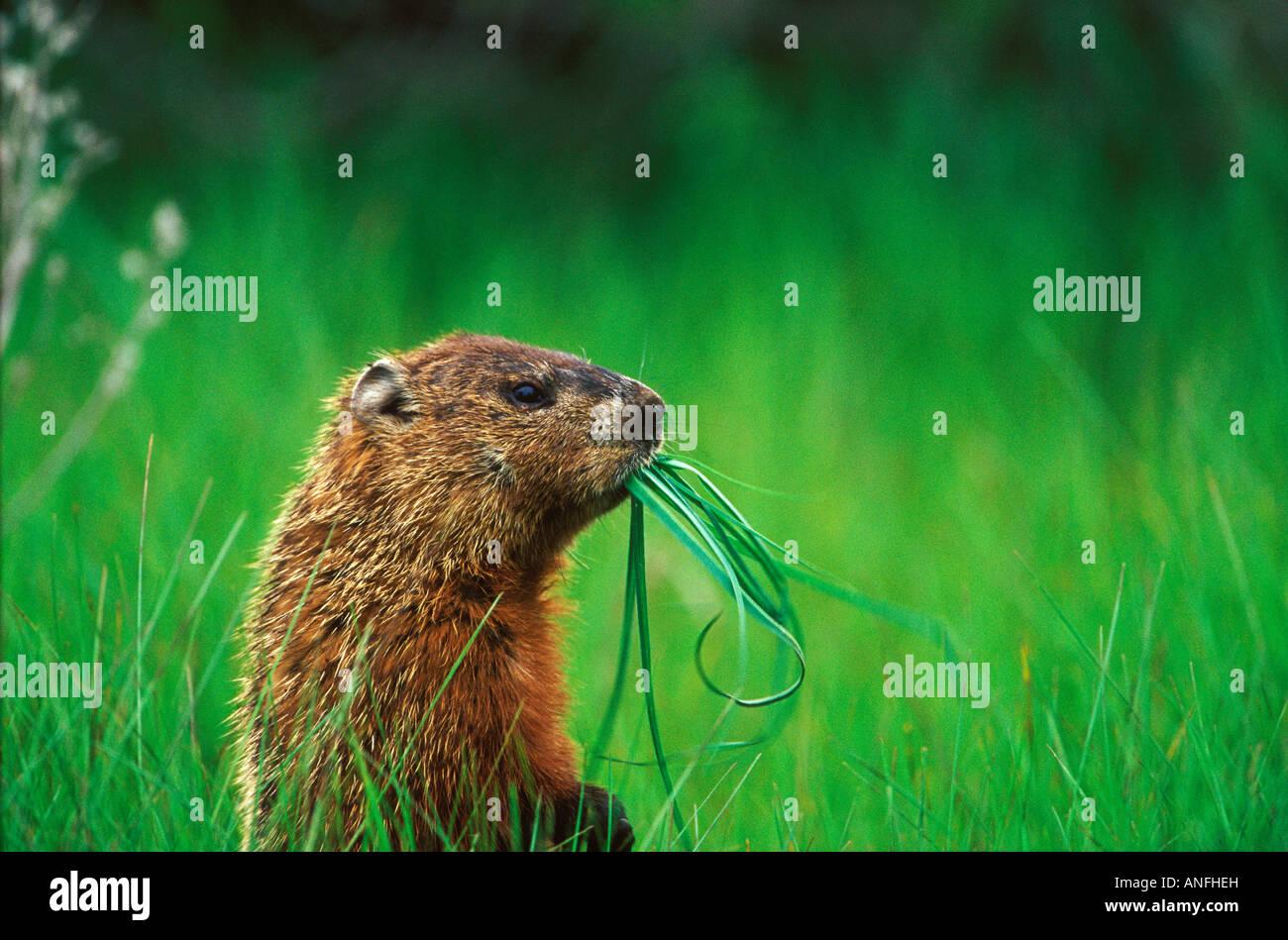 Woodchuck (Groundhog) (Marmota monax) chewing grass, Prince Edward Point National Wildlife Area, Ontario, Canada. - Stock Image