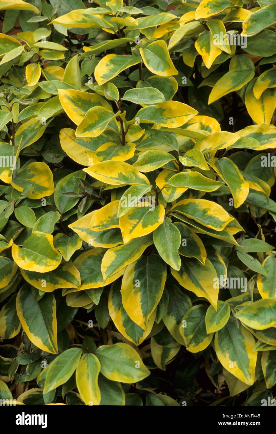 Eleagnus x ebbingei 'Gilt Edge', green leaves, yellow edges, variegated plant garden - Stock Image