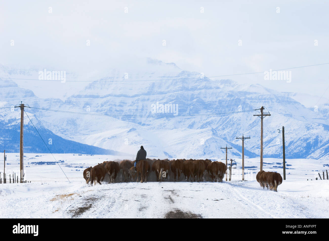 Cattle (Bos taurus) Drive. Driving herds along roads is a common way to move them from one field to another. Country - Stock Image