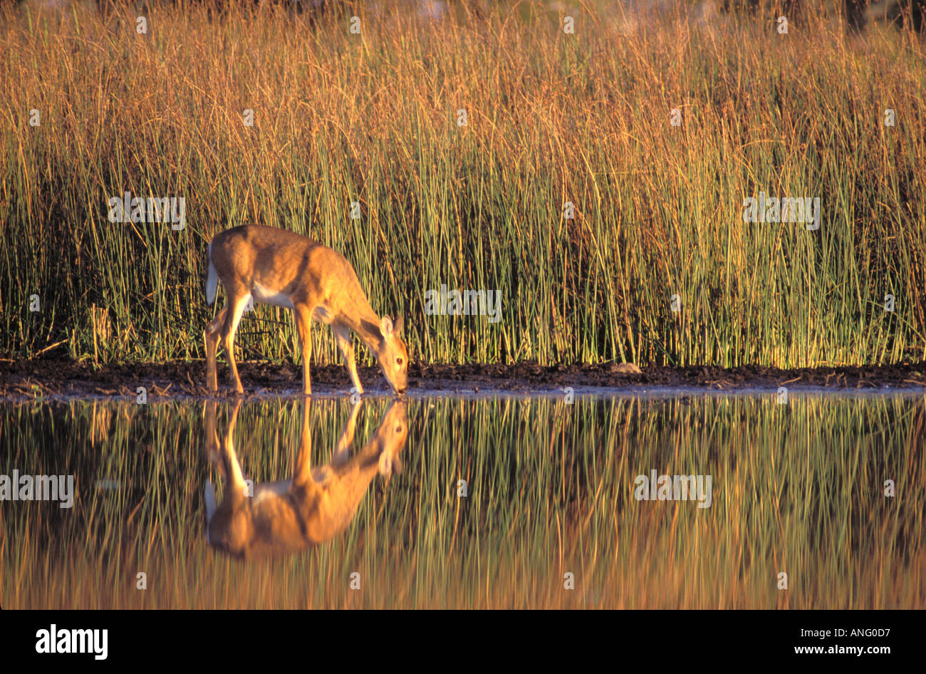 Whitetail deer drinking from a prairie pothole wetland at Goose Lake Prairie State Natural Area Illinois - Stock Image