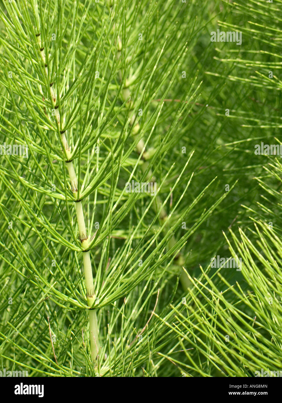 close up view of a mass of horsetail plants equisetum arvense Stock Photo