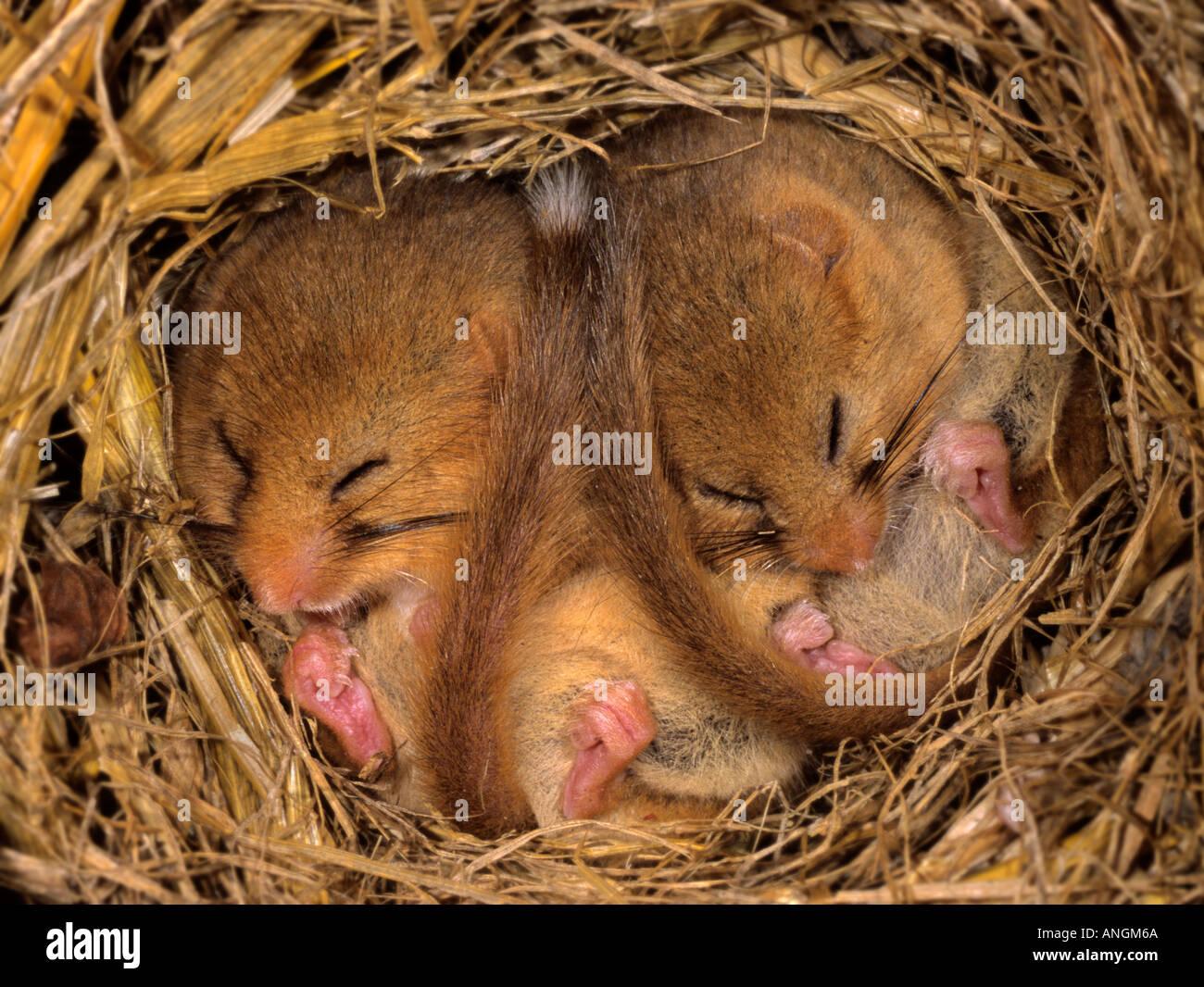 Hibernating hazel dormouse Muscardinus avellanarius, Captive, Wildwood Trust, UK - Stock Image