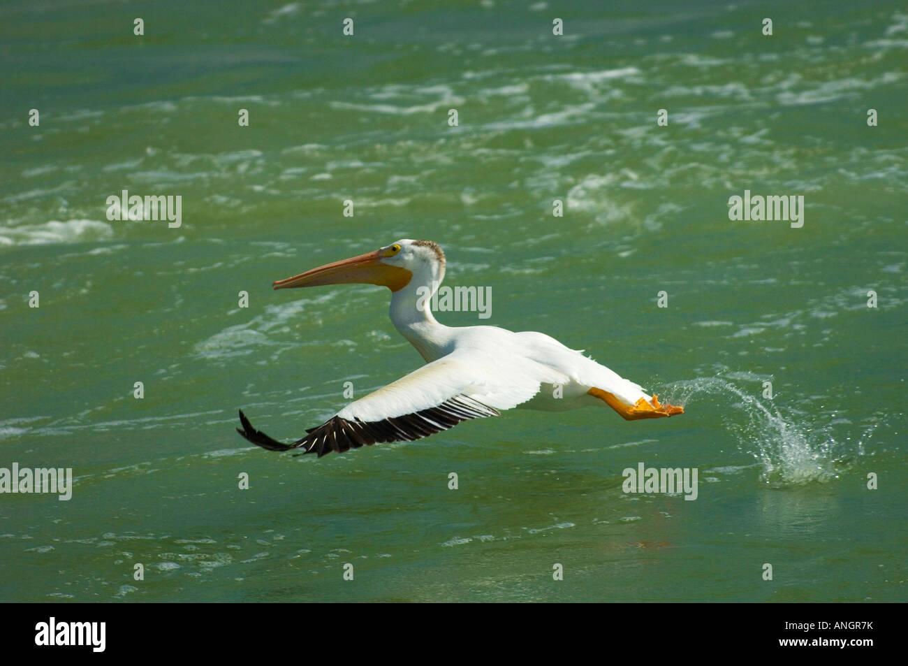 White pelican taking flight, Fairford, Manitoba, Canada. - Stock Image