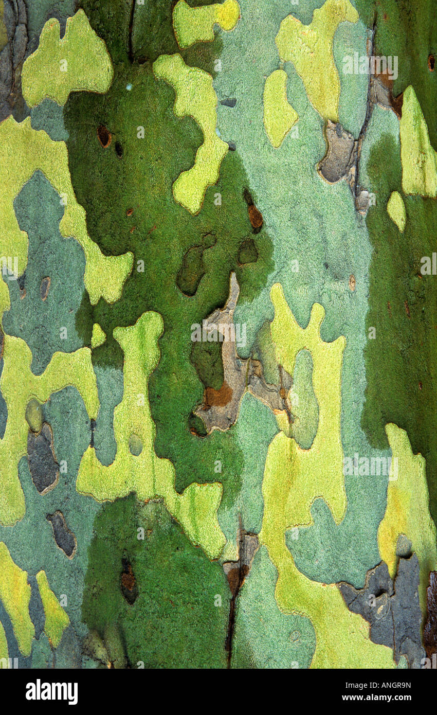 Sycamore bark detail, London, Ontario, Canada. - Stock Image