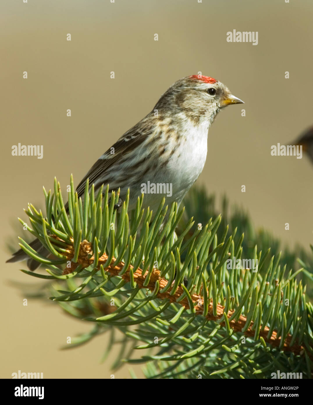 Common Redpole (Carduelis flammen) Female. A small Finch of northern forests and tundra which often forms flocks - Stock Image