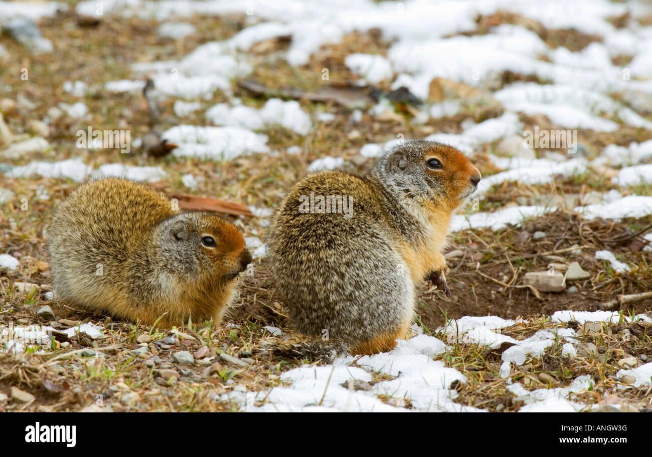 Columbian Ground Squirrel (Spermophilus columbianus) Adults. This colonial estivator and hibernator sleeps 7-8 months - Stock Image