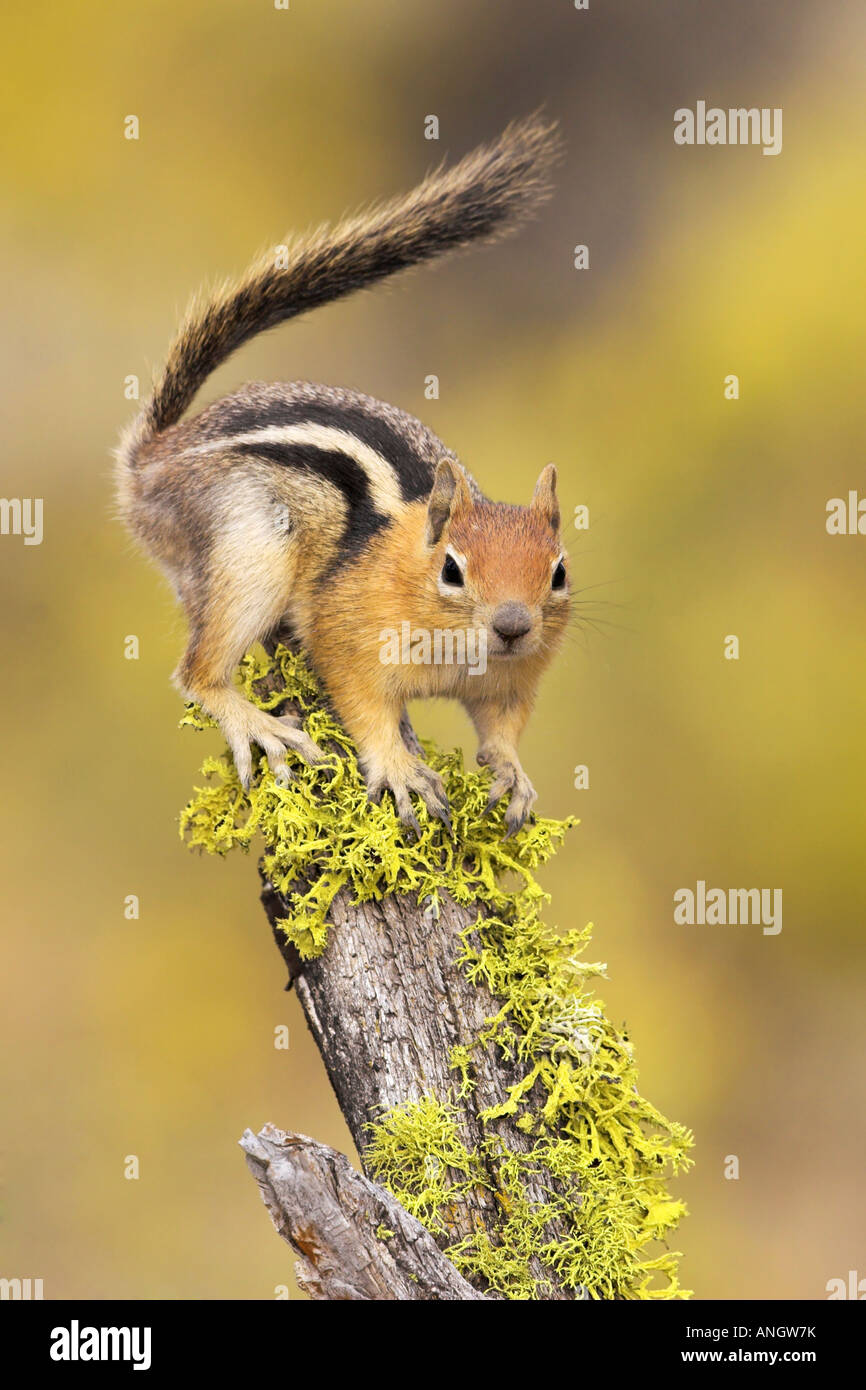 A Golden-mantled Ground Squirrel (Spermophilus lateralis) perched on a lichen covered log in the interior of British - Stock Image