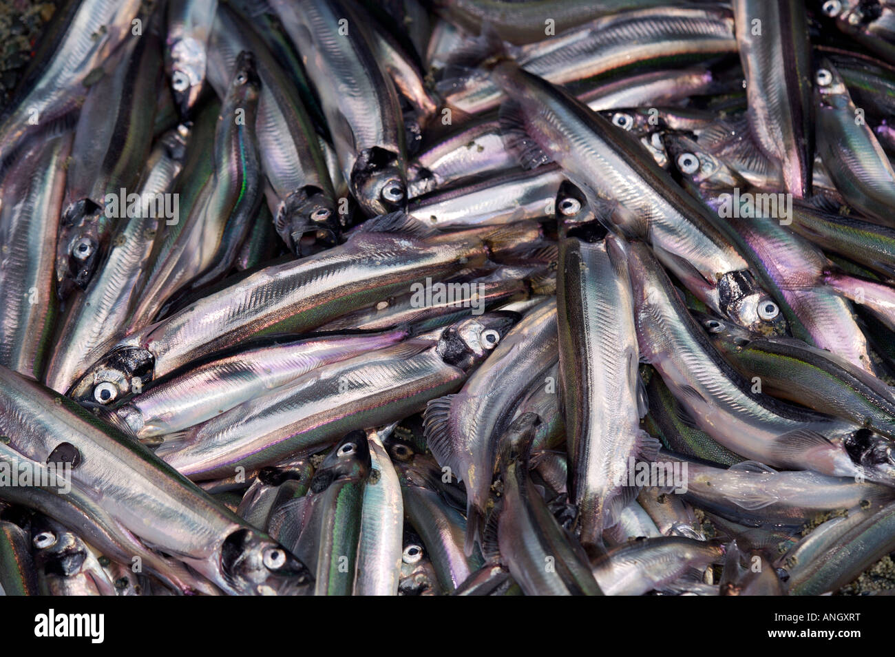 Spawning Capelin, Mallotus villosus, on a beach at Admiral's Point, Bonavista Peninsula, Trinity Bay, Discovery - Stock Image