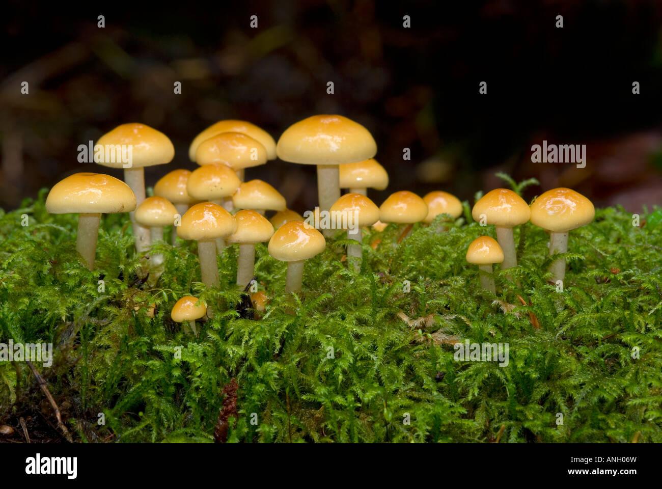 Hypholoma-species of fungus, Vancouver Island, British Columbia, Canada. - Stock Image