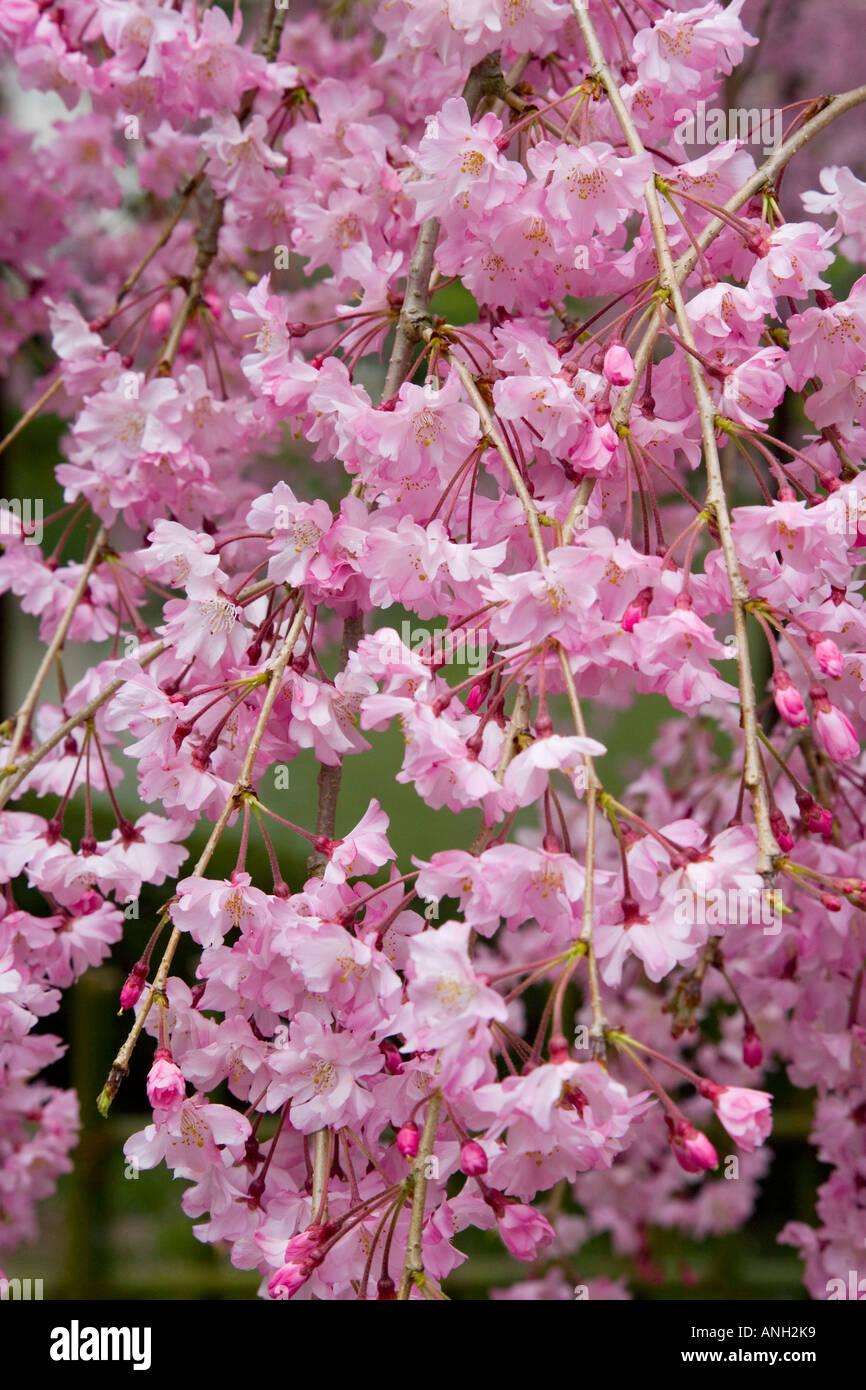 Cherry blossoms (Sakura), Kyoto, Japan - Stock Image