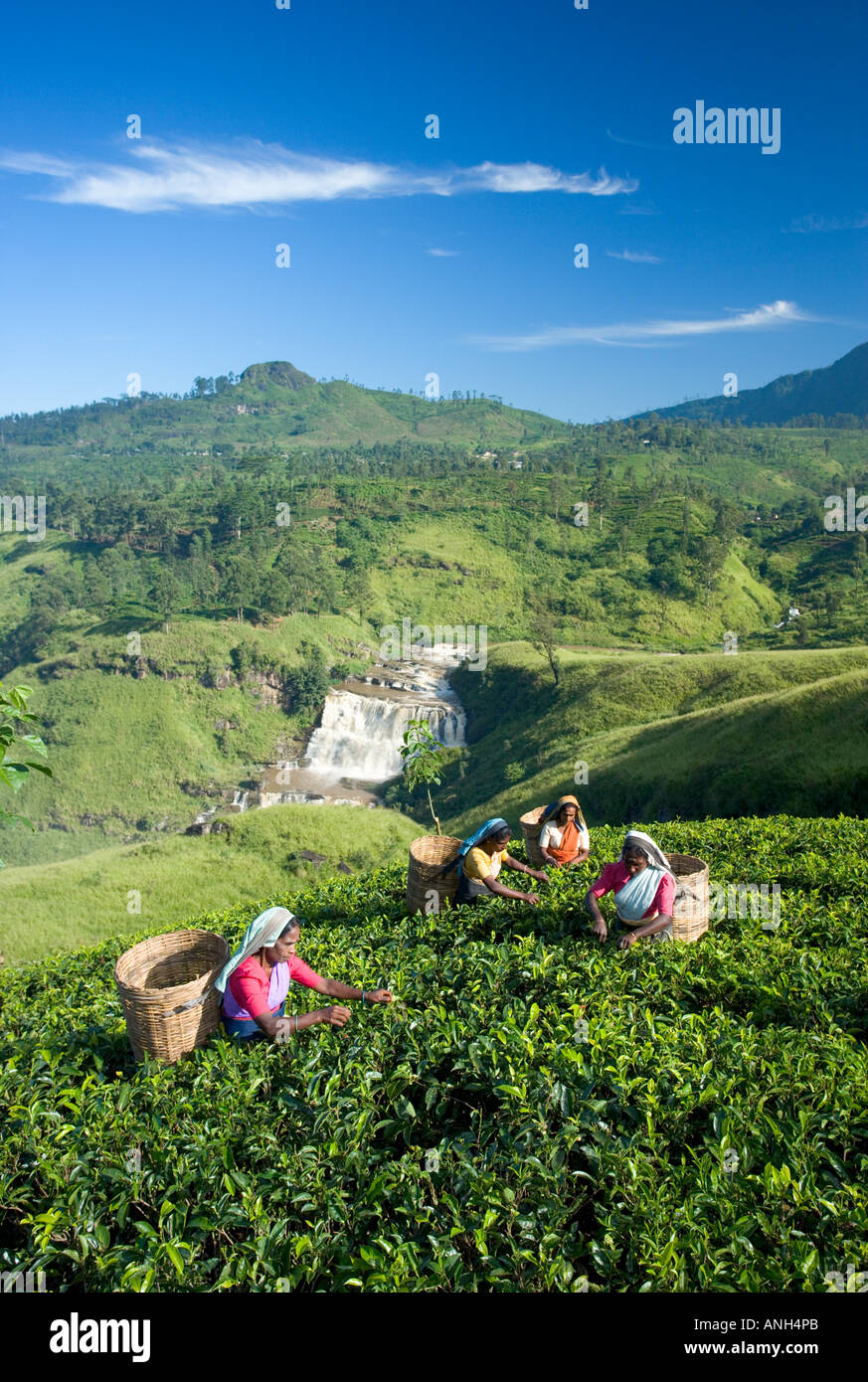 Tea Plantation, Talawakele, Nuwara Eliya, Hill Country, Sri Lanka Stock Photo