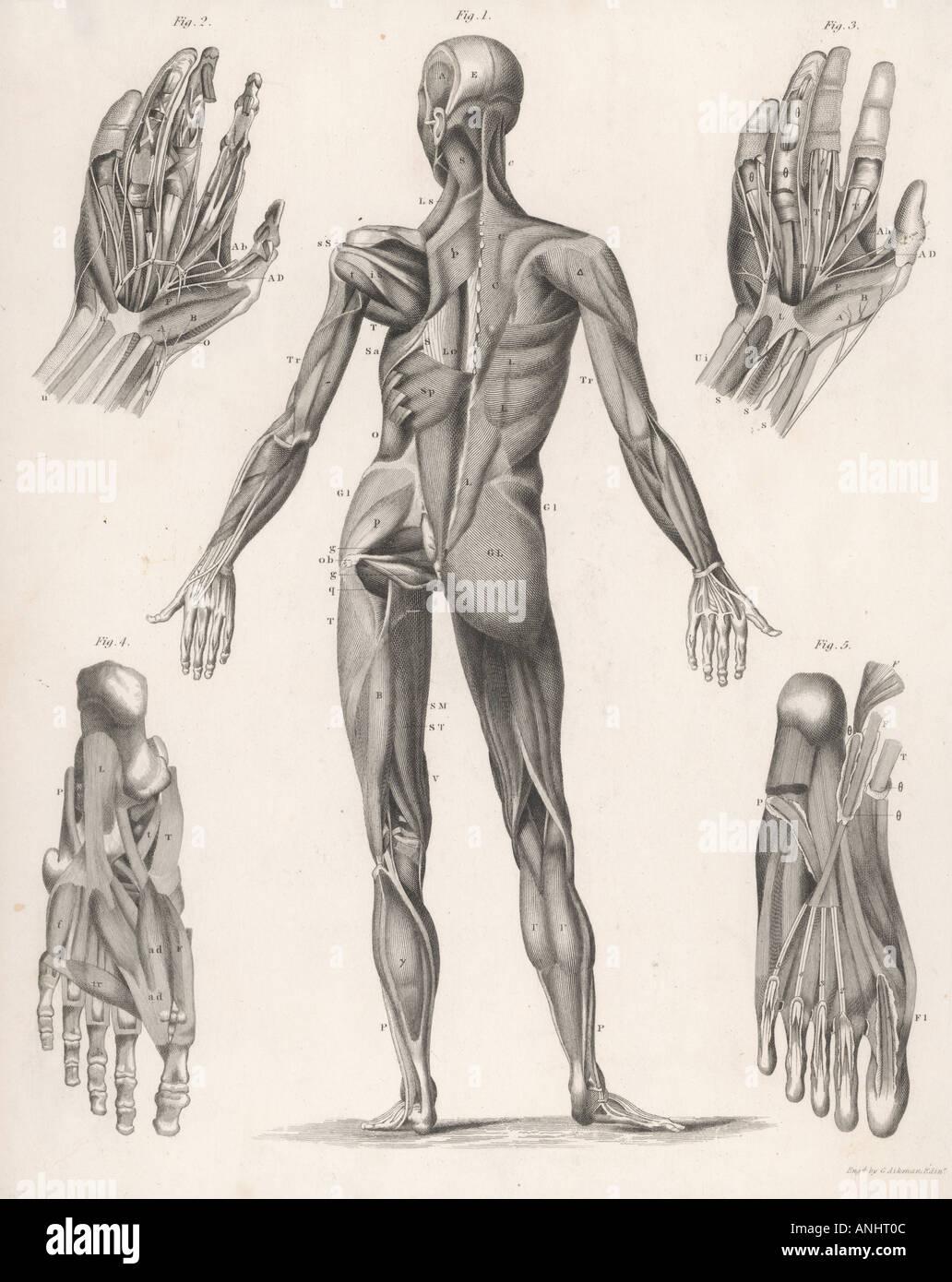Anatomy Whole Body Stock Photo: 5071883 - Alamy