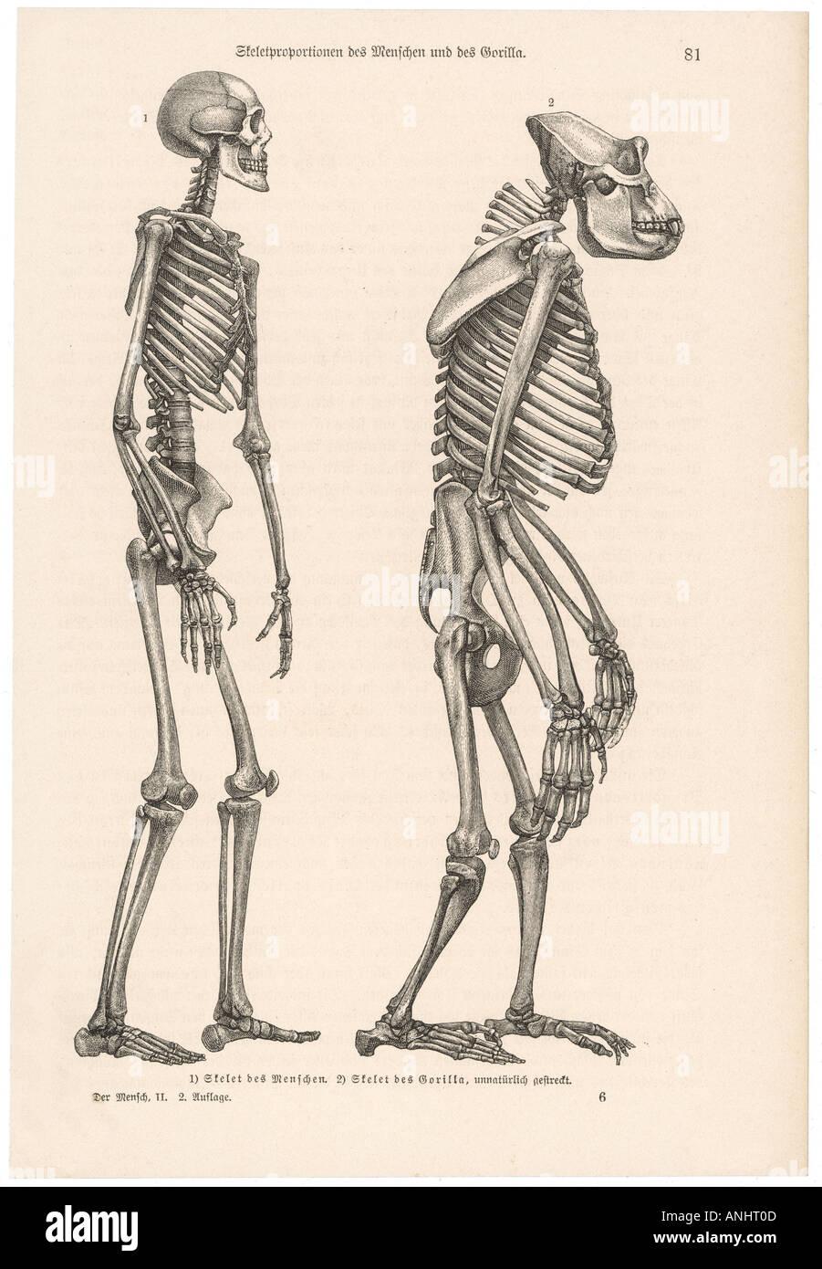 Anatomy Whole Body Stock Photo: 5071884 - Alamy