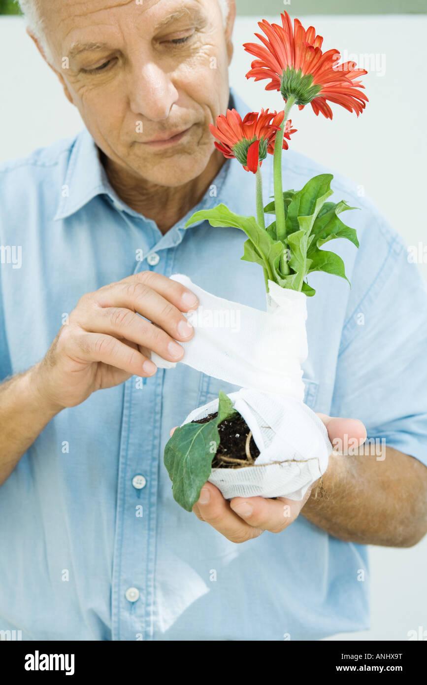 Man wrapping gauze around gerbera daisy plant, close-up - Stock Image