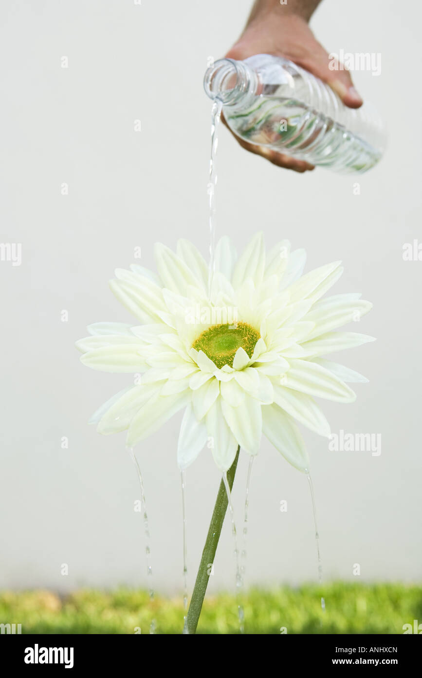 Hand pouring bottled water on flower, cropped view - Stock Image
